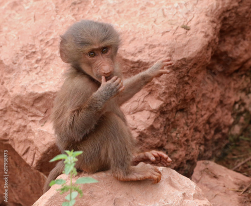 Poster Hamadryas Baboon animal