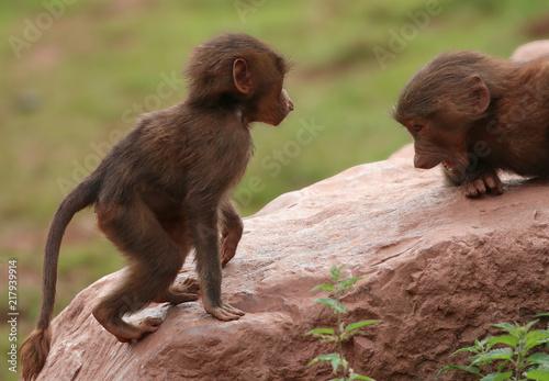 Foto Murales Hamadryas Baboon animal