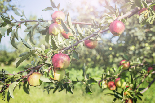 Ripe apples on branches in orchard. Harvest concept.