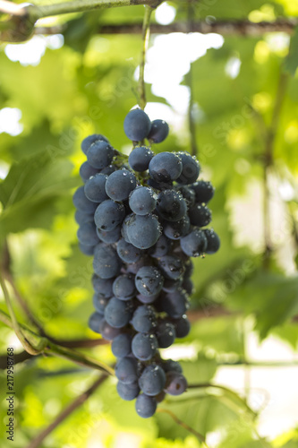 In de dag Wijngaard Purple wine grapes during harvest season in a vineyard.
