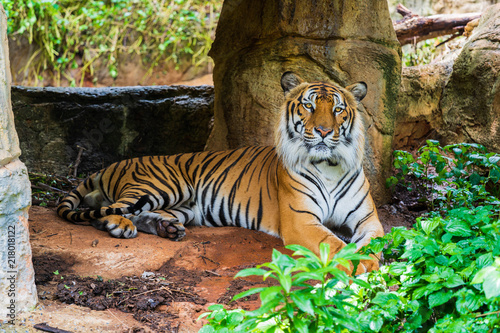 Canvas Tijger Bengal tiger resting in the forrest