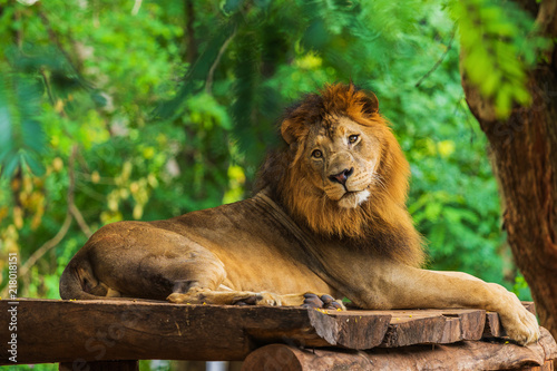 Canvas Lion lion resting near a tree