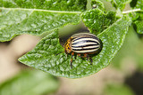 Adult striped Colorado beetle eating young green potato leaves. Invasion of pests on farmland. Parasites destroy a crop in the field. Selective focus