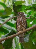 Brown Hawk Owl perch on the tree in nature - 218021969