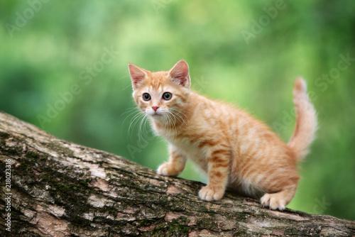 Foto Murales red tabby kitten posing on a tree outdoors