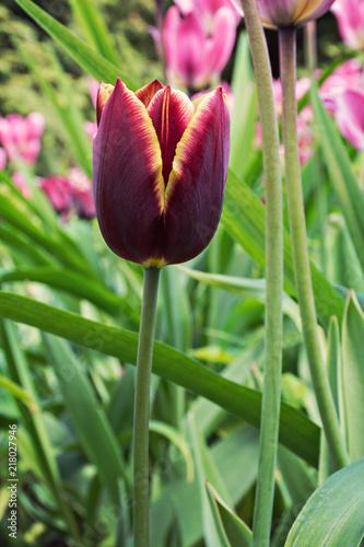 purple, beautiful tulip, flower on a flower bed in a park. sunlight
