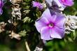 Veilchen lila