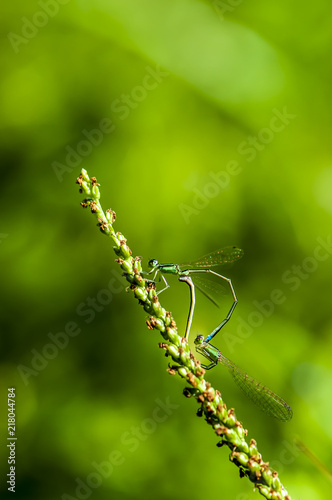 Foto Murales Damsel-fly