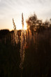 Stalk of wheat grass close-up photo silhouette at sunset and sunrise, nature sun sets yellow and black background