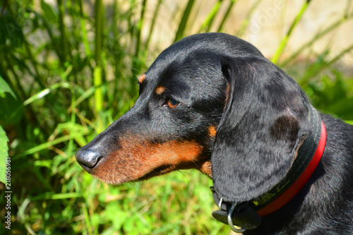 dog, animal, dachshund, pet, puppy, black, canine, cute, brown, breed, doberman, mammal, isolated, hound, pets, purebred, grass, portrait, animals, pedigree, dogs, pup, domestic, small, nature