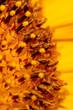Pollen on a flower of a sunflower