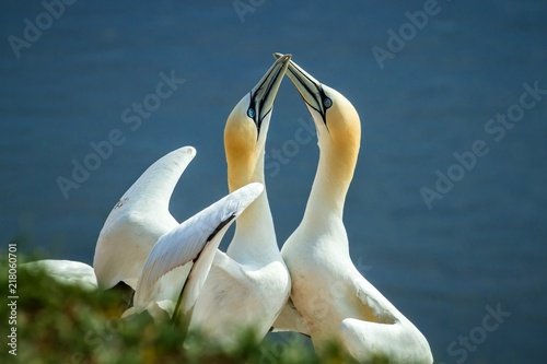 Fotobehang Zwaan Northern Gannet (Morus bassanus), mating gannets on cliffs, Helgoland in Germany, bird colony, beautiful birds, typical mating behaviour, nesting birds on cliffs, harmony, lovely bird couple