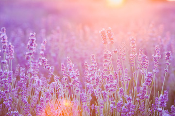 Sunset over a summer lavender field, looks like in Provence, France. Beautiful image of lavender field over summer sunset landscape.