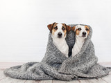 Two dogs under the rug