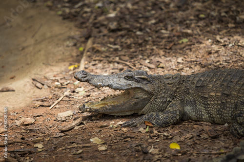 Foto Spatwand Thailand Crocodiles Resting at Crocodile Farm in Thailand