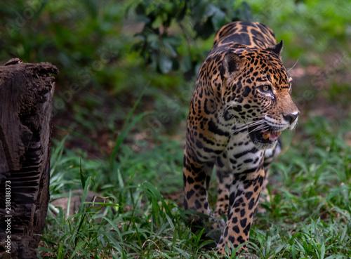 Canvas Tijger Jaguar2