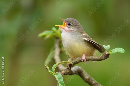 Foto Murales Tailor bird
