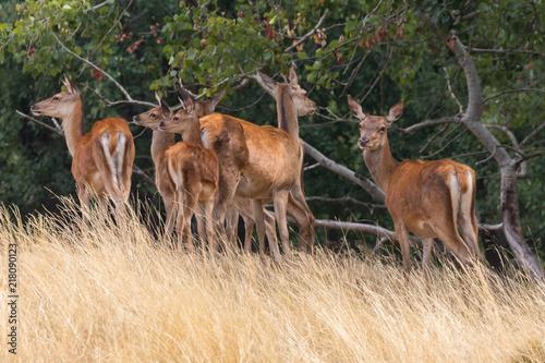 Foto Murales Damwild Hirsch Deer
