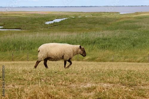 Aluminium Noordzee Schaf auf einem Deich, gesehen in Friesland, Norddeutschland