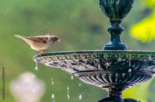 Foto Murales sparrow drinking water