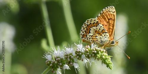 Canvas Vlinder Papillon sur une fleur de menthe sauvage