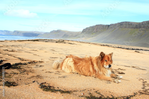 Icelandic dog on the beach of Raudasandur