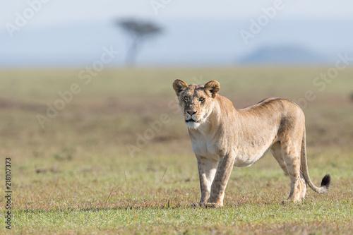 African lion (Panthera leo) in landscape, Masai Mara, Kenya
