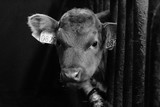 Calf of the icelandic cow
