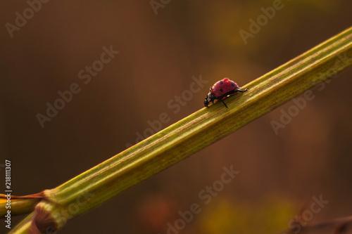 Foto Murales ladybug