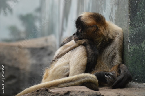 Spider monkey resting on a rock