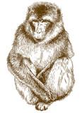 engraving illustration of rhesus macaque