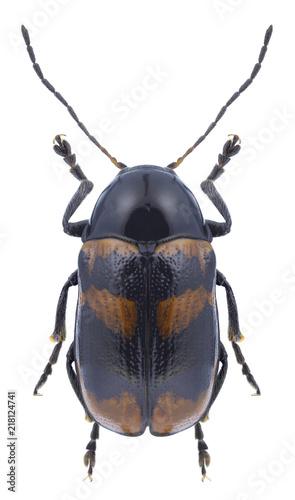 Foto Murales Beetle Cryptocephalus tarsalis on a white background