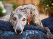 Greyhound dog lying down on blue bed