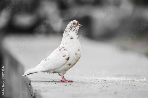 Foto Murales Beautiful pigeon posing for a portrait