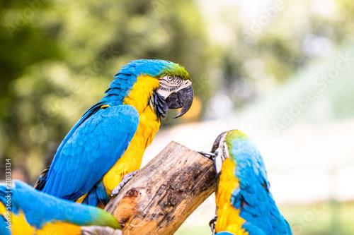 Aluminium Papegaai Blue and Yellow Macaws