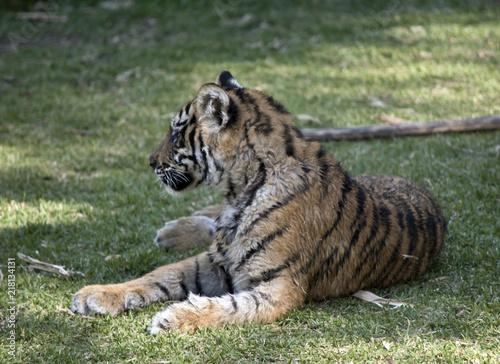 Canvas Tijger tiger cub