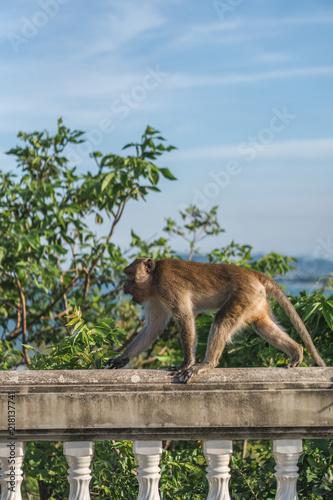 Foto Spatwand Aap Monkey balancing on the Ledge