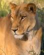 Lioness - Female