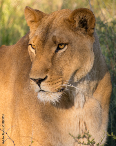 Canvas Lion Lioness - Female