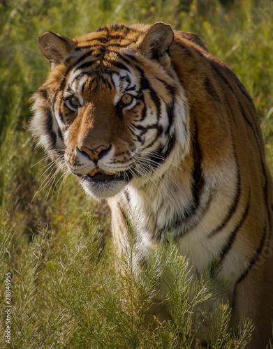 Canvas Tijger Siberian Tiger - Male