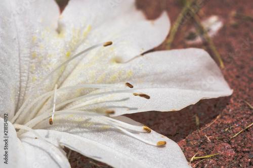 In de dag Azalea azalea macro