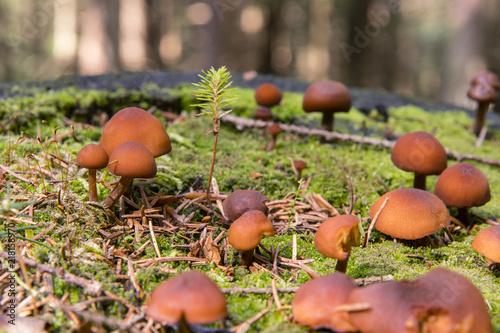 Foto Murales Brown mushrooms in the moss.