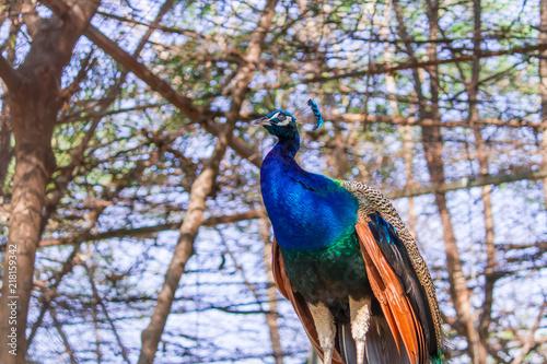 Aluminium Papegaai Peacock standing on a tree