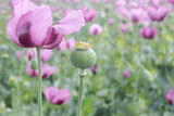 Field of pink opium poppy