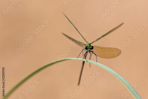 Foto Murales Damigella (Calopteryx virgo)
