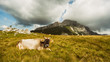 Quadro Cow lying on grass in the field in mountain.