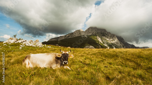 In de dag Landschappen Cow lying on grass in the field in mountain.