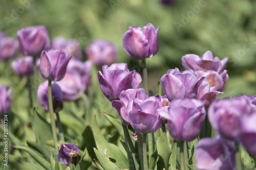 Aluminium Olijf A tulip field in spring