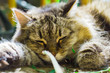 sleeping cat close-up