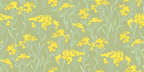 Helichrysum arenarium. Medicinal plant. Steppe grass.Botanical illustration. Yellow flowers.sandless immortelle.  © soul_romance
